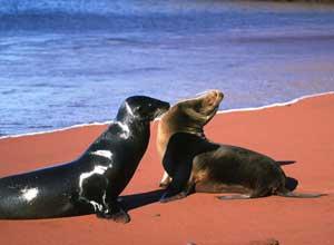 Rabida sea lions
