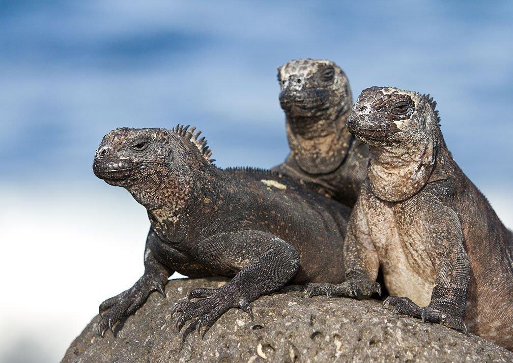 Galapagos and Costa Rica - marine iguanas